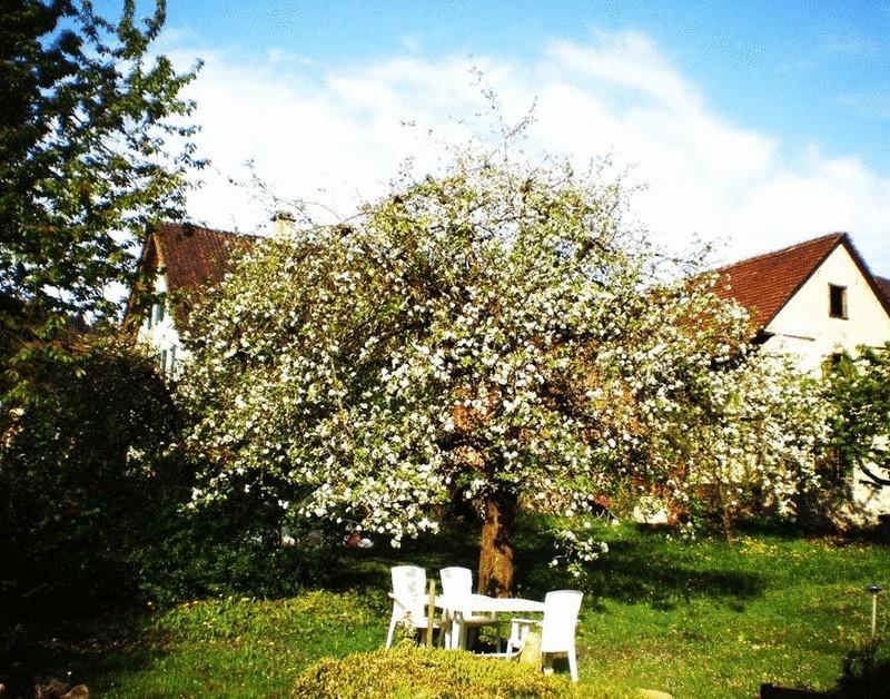 фото яблоня возле дома отличием является