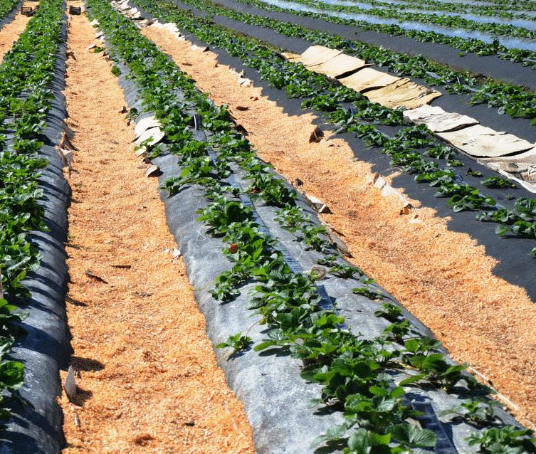 Земляника выращивание как бизнес