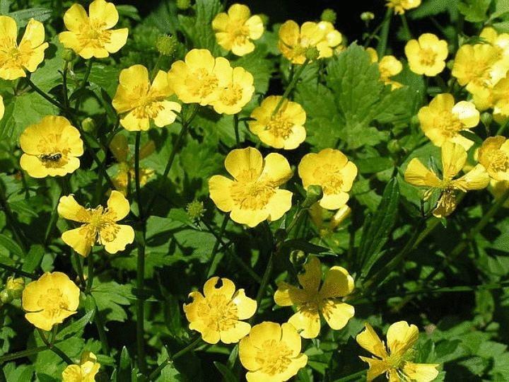 Лютик жгучий - растение ядовитое, несмотря на симпатичные желтенькие цветы.