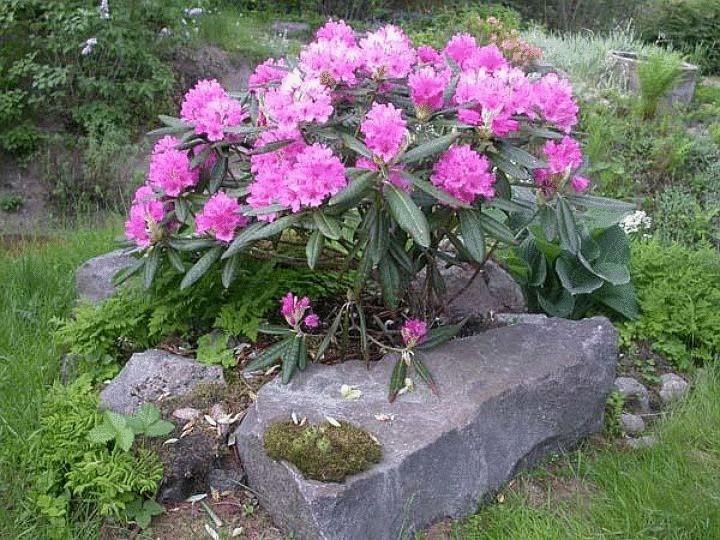 Пыльца этого растения вызывает слезы и насморк даже у тех, кто не страдает аллергией.