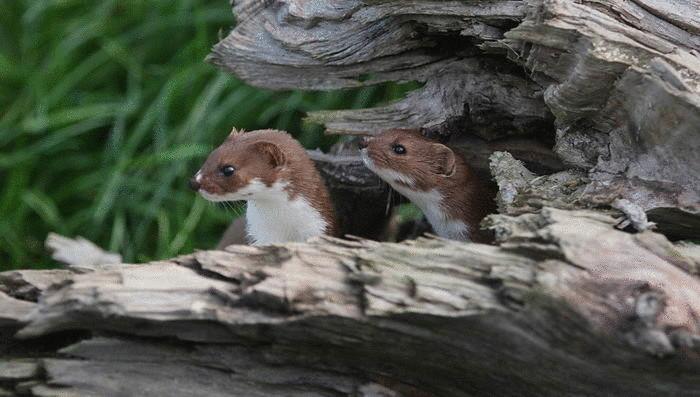Ласка – самый маленький хищник на планете
