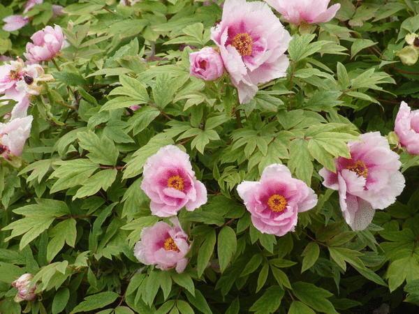 Массовое цветение древовидного пиона