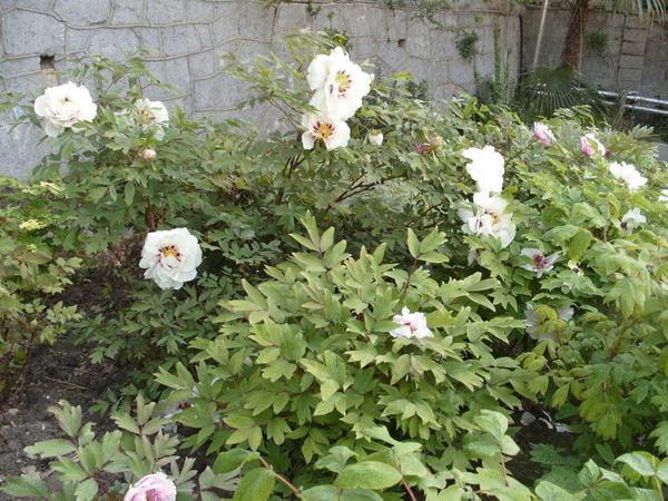 Древовидные пионы на одном месте растут долго и счастливо