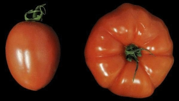 Скоро на прилавках - помидоры-мутанты