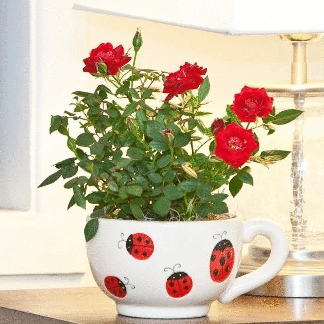 комнатные розы уход в домашних условиях фото пошагово в