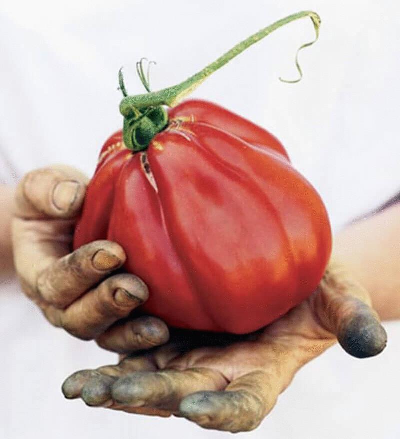 Творческий подход к пасынкованию помидоров