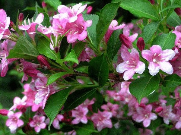 Вейгела — изменчивая красавица в Вашем саду