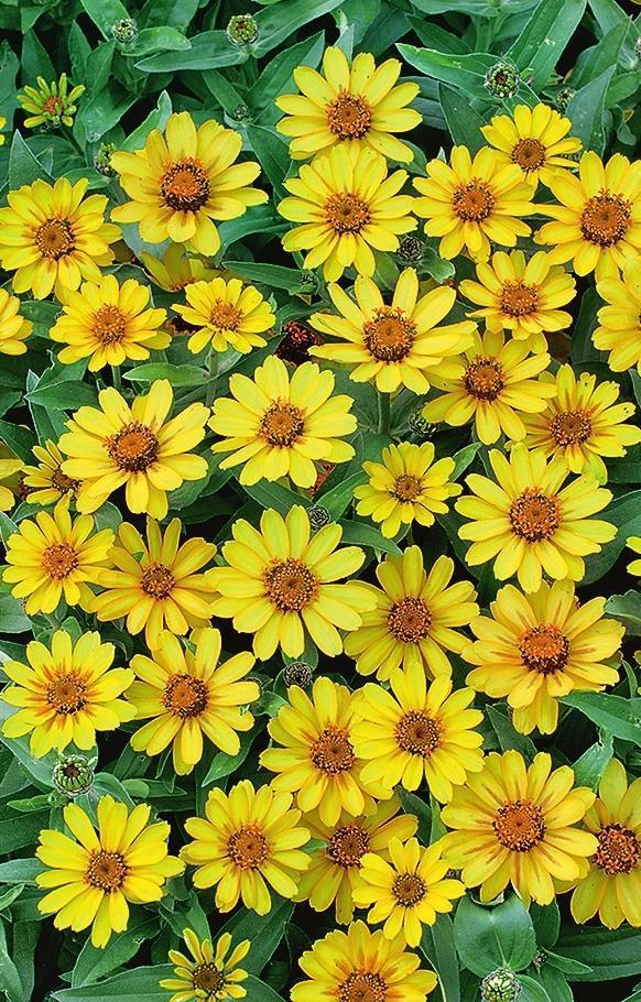 Словно маленькие солнышки выглядят желтые цветки циннии 'Profusion Yellow'.
