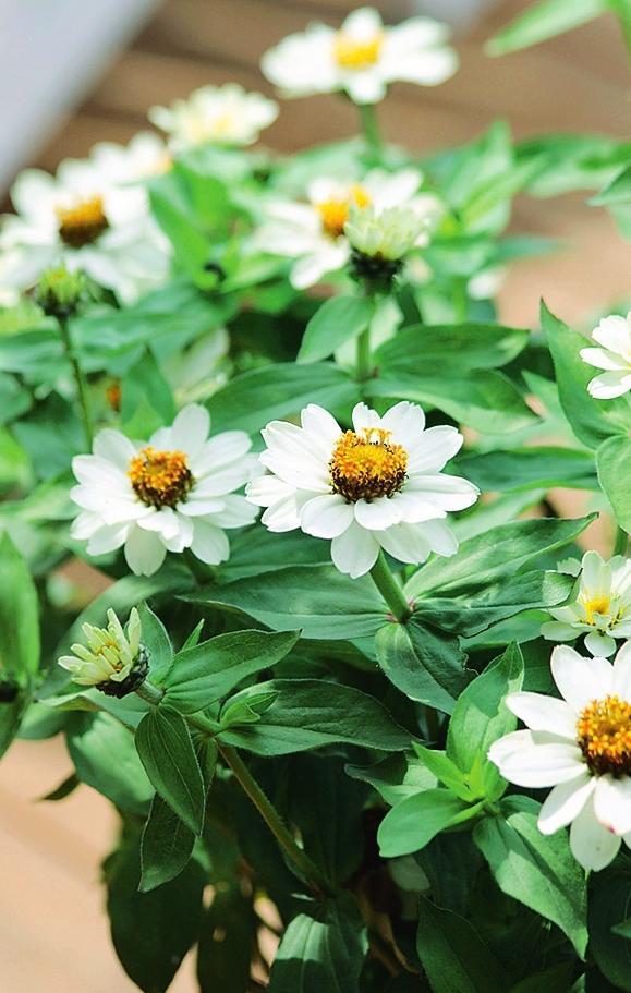 Белые цветки 'Crystal White' внесут разнообразие в любую композицию.