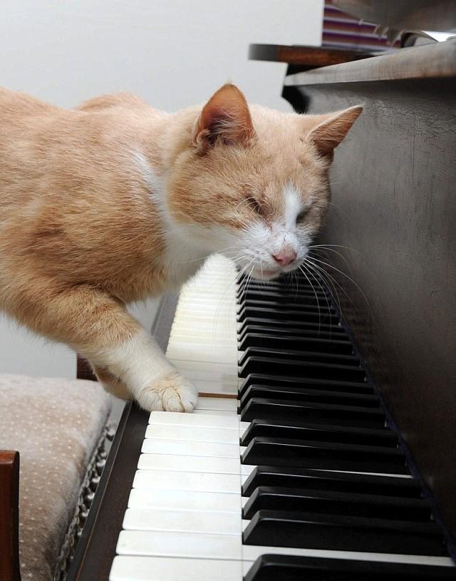 Кот на пианино игра
