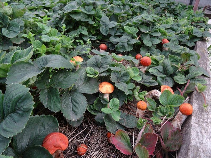 Выращивание грибов на садовом участке для новичков 24