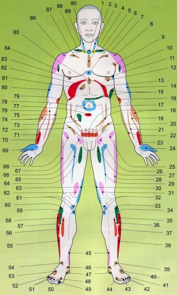 Проекционные зоны внутренних органов на теле человека