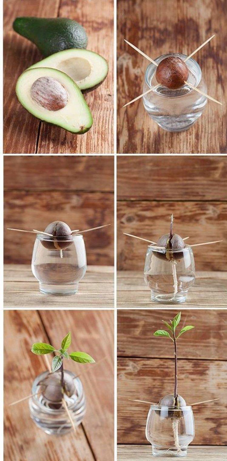 Как вырастить авокадо из косточки в домашних условиях Content_6__econet_ru