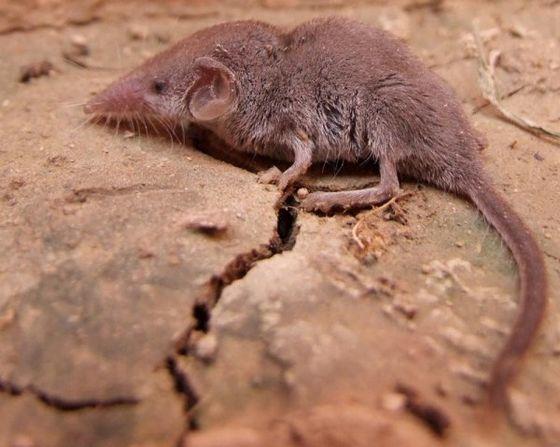 Самое маленькое млекопитающее на Земле