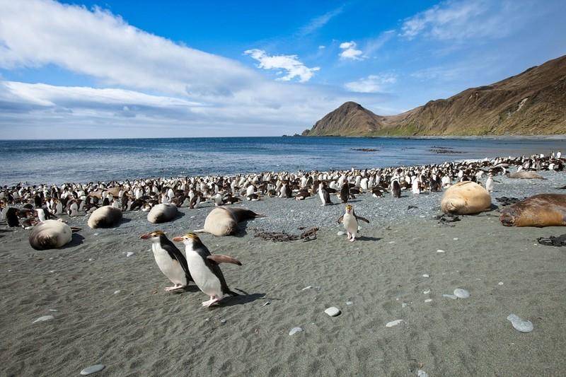 Маккуори – крошечный зелёный остров, где правят пингвины - 3