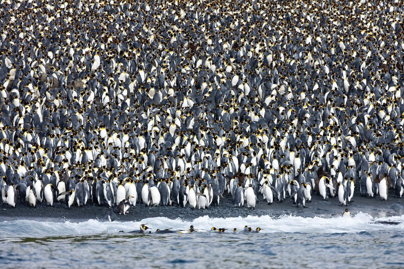 Маккуори – крошечный зелёный остров, где правят пингвины - 6