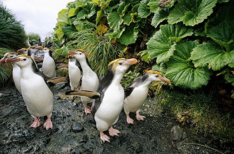 Маккуори – крошечный зелёный остров, где правят пингвины - 7