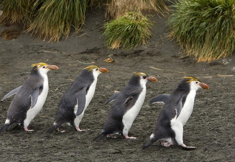 Маккуори – крошечный зелёный остров, где правят пингвины - 8