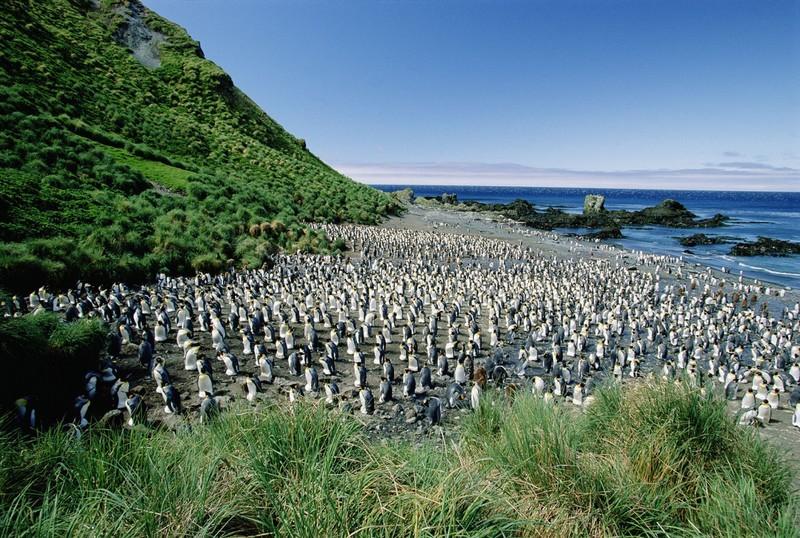 Маккуори – крошечный зелёный остров, где правят пингвины - 9