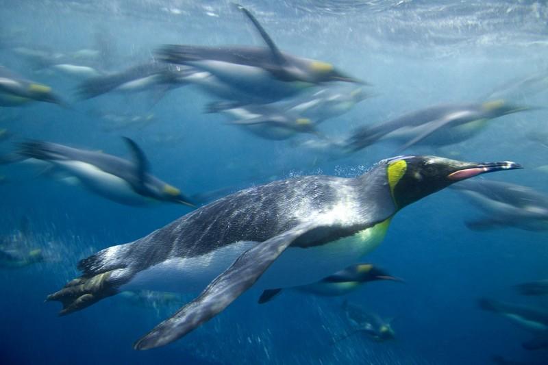 Маккуори – крошечный зелёный остров, где правят пингвины - 11