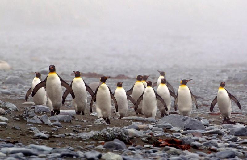 Маккуори – крошечный зелёный остров, где правят пингвины - 12
