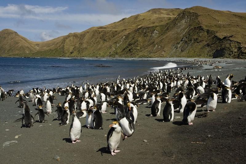 Маккуори – крошечный зелёный остров, где правят пингвины - 13
