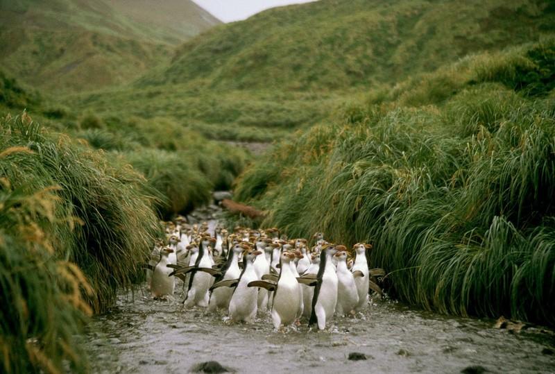 Маккуори – крошечный зелёный остров, где правят пингвины - 14
