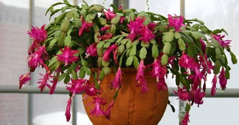 Декабрист шлюмбергера рождественский кактус