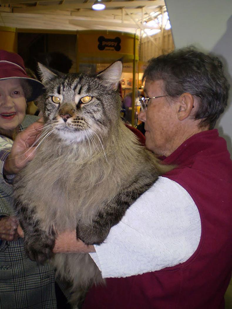 Самый большой кот в мире картинка