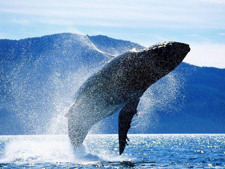 Картинки по запросу Они спасли умирающего кита