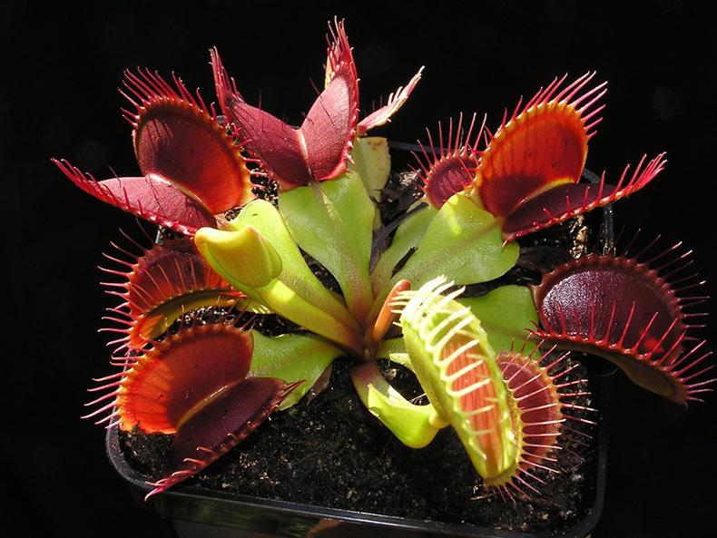 Картинки по запросу Десять хищных растений