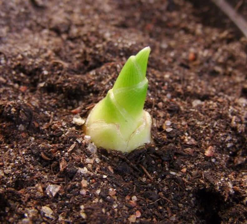 """Имбирь - """"рогатый"""" корень молодости. Как посадить и как ухаживать"""