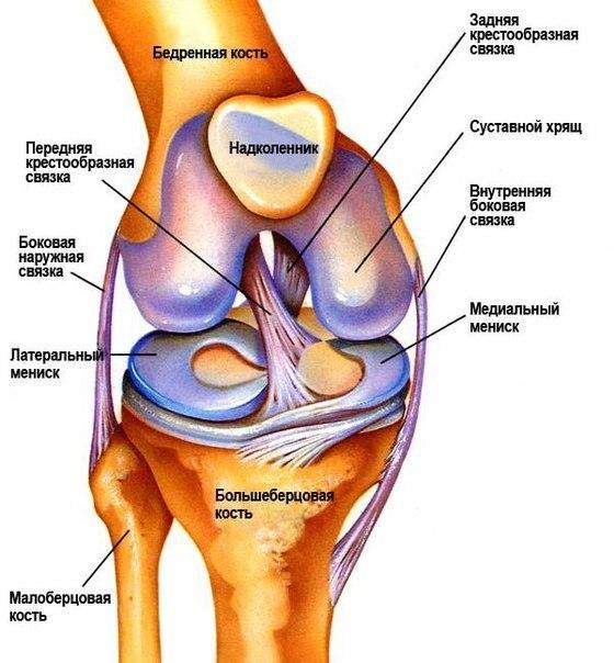 Суставной хрящ коленного сустава фото упражнения, направленные на укрепление суставов