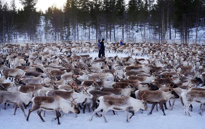 Радиоактивные олени из Норвегии