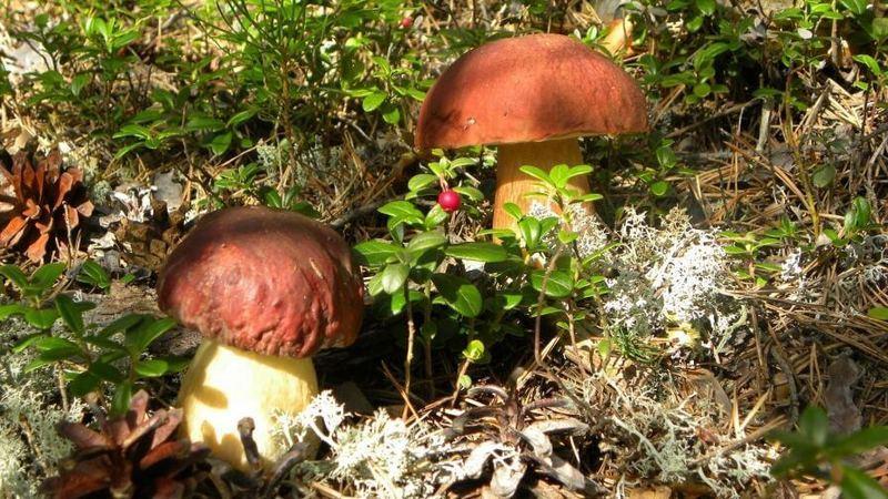 Как вырастить белые грибы в усадьбе
