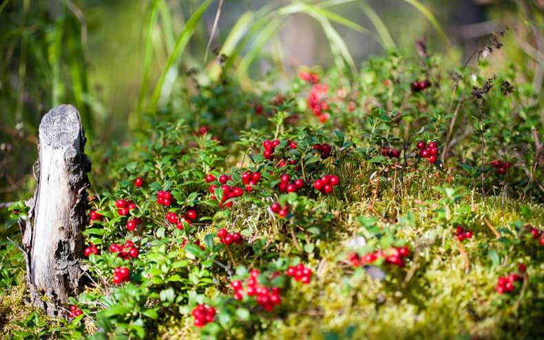 Брусника в природе и в саду