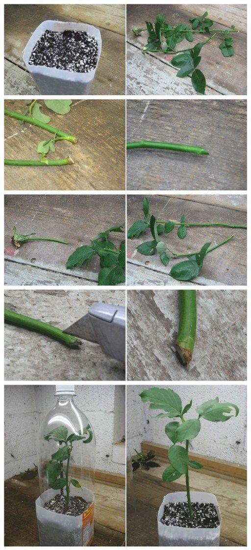 Роза в букете дала ростки как посадить