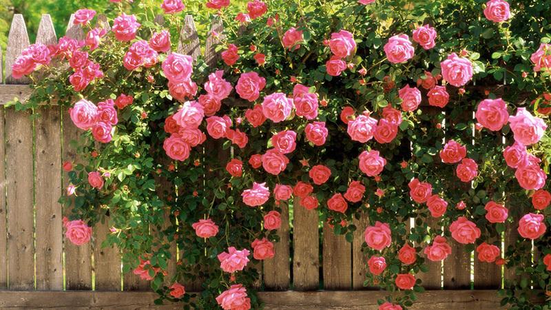 Как выращивать розы плетистые