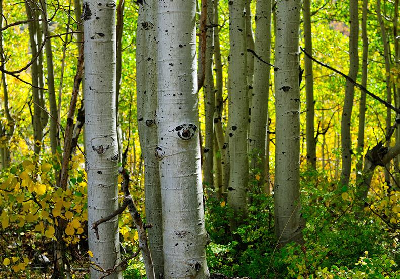 Полезные свойства осины