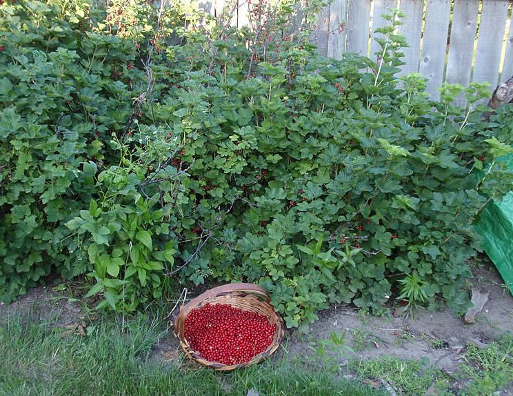 Где лучше сажать черную смородину - в тени или на солнце Сайт о саде