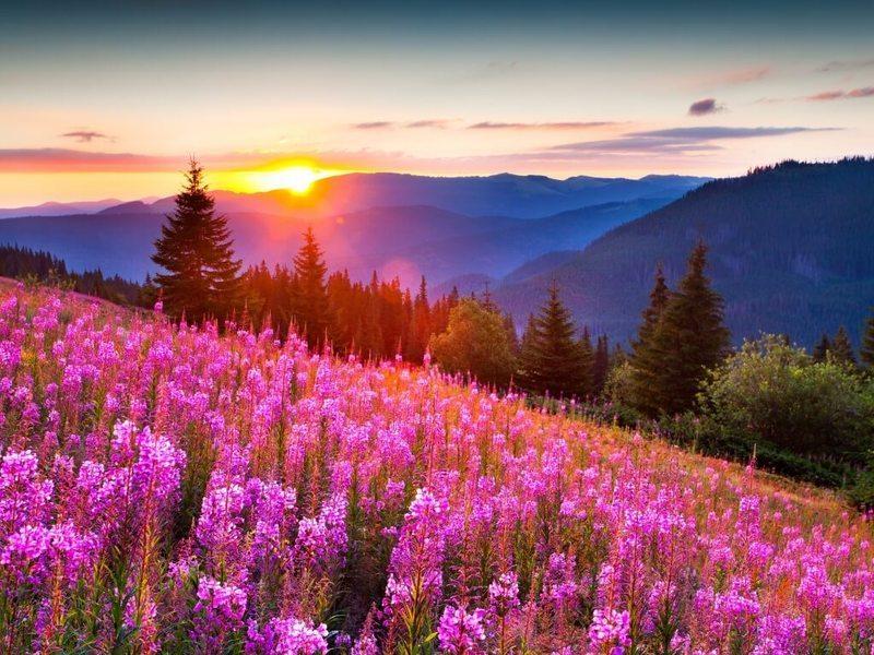Иван-чай. Русское чудо-растение может возродить наше здоровье