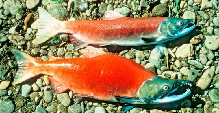 что нам продают под видом благороднойс рыбы
