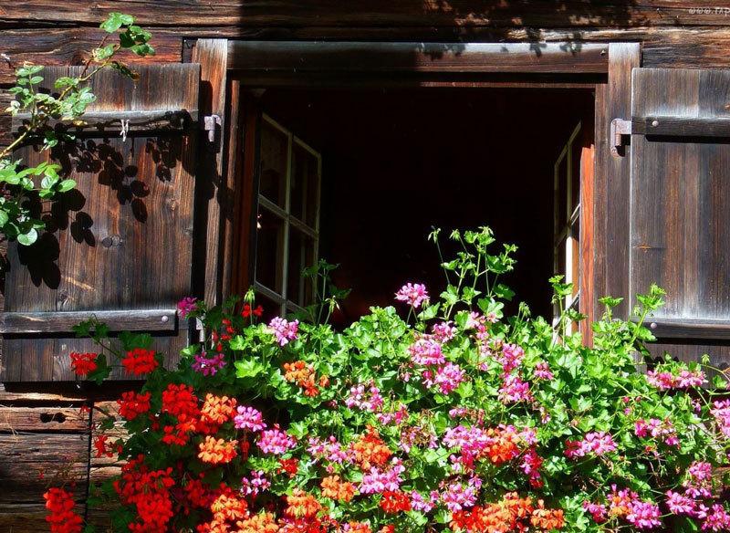 Почему не цветет герань и что делать чтобы она цвела зимой