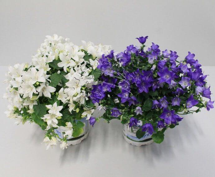 Колокольчик кампанелла цветок 193