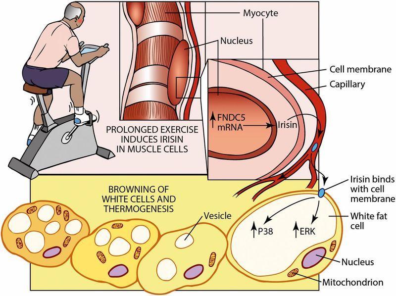 гормон роста сжигания жира