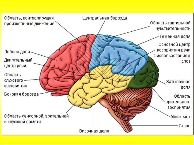 Возрастные этапы созревания мозга
