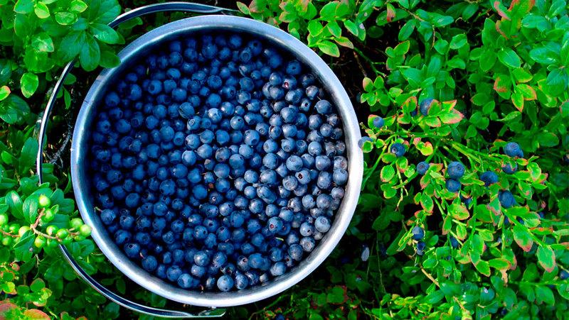 Производственное выращивание черники 31