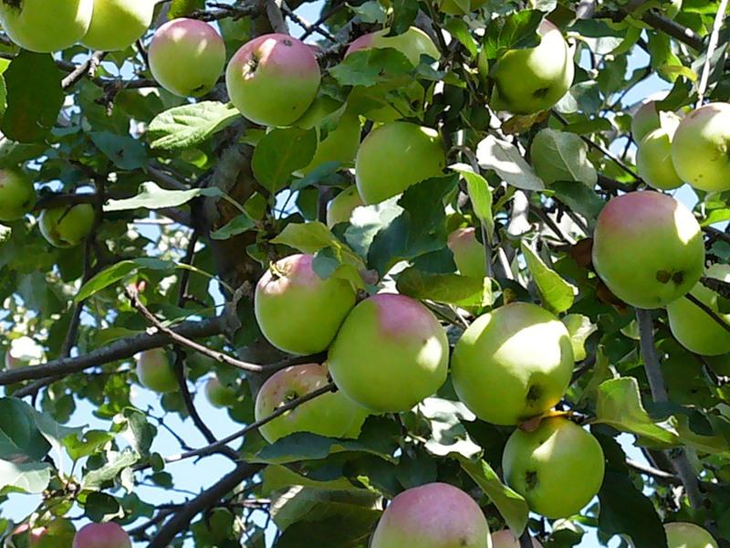 Как правильно привить яблоню советы новичкам
