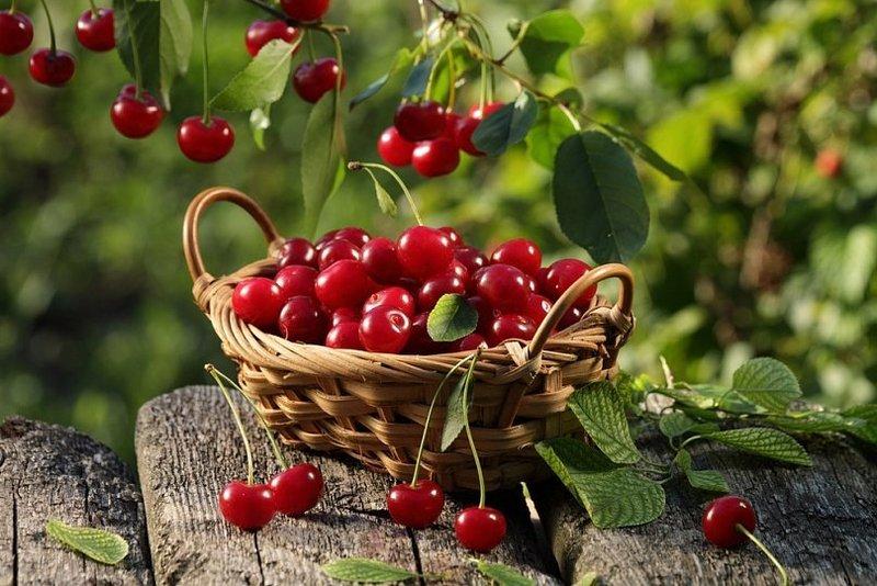 Как получить небывалый урожай вишни