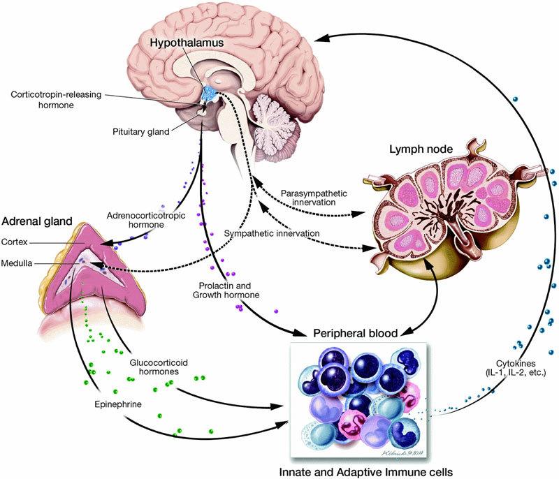 Гормон стресса кортизол – это ВАЖНО знать ВСЕМ!